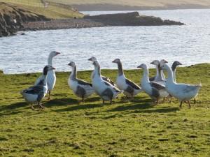 shet-geese